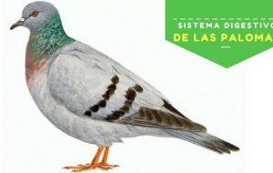 paloma - ave
