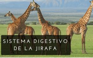 sistema digestivo de las jirafas