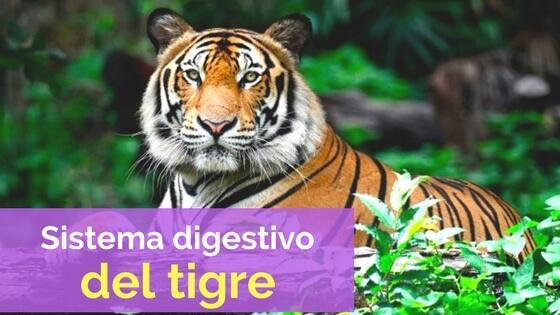sistema digestivo de los tigres