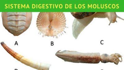 información del sistema digestivo de los moluscos
