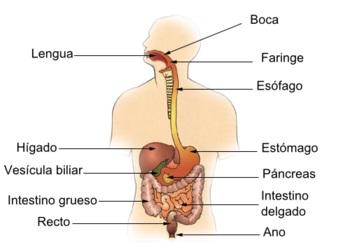 partes del sistema digestivo humano